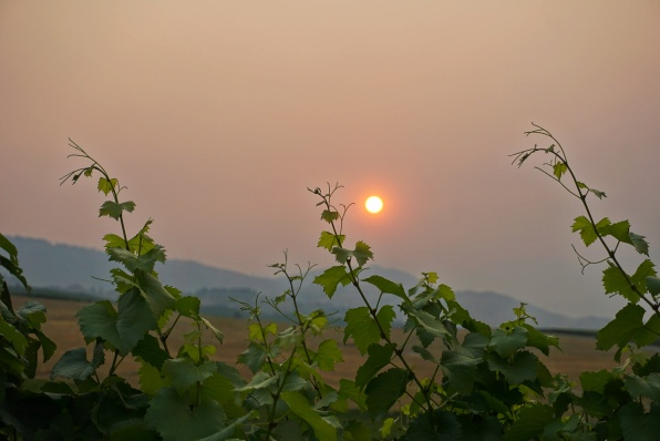 A Vineyard Sunset